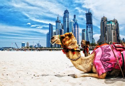 Dubai Camel tours